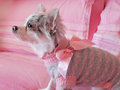 Chihuahua dressed with pink bow Royalty Free Stock Photo