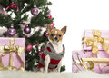 Chihuahua dressed and sitting in front of Christmas decorations Royalty Free Stock Image