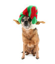 A chihuahua dressed up for christmas Stock Photos