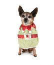 A chihuahua dressed up for christmas Royalty Free Stock Photo