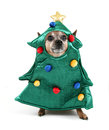 A chihuahua dressed up for christmas as a tree Royalty Free Stock Images