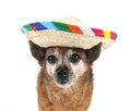 A chihuahua dressed up for cinco de mayo Royalty Free Stock Photos