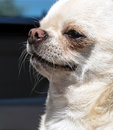 Chihuahua enjoying trip by car dog in automobile Stock Photography