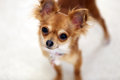 Chihuahua female curiosity this is a shot of a yr old she is very curious and quizzical Royalty Free Stock Photos