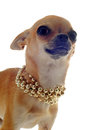 Chihuahua with gold collar Royalty Free Stock Photos