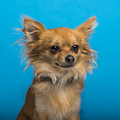 Chihuahua headshot blue background brown Stock Photos
