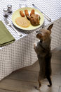 Chihuahua on hind legs looking at leftover food Royalty Free Stock Photo