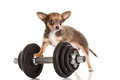 Chihuahua isolated on white background dog gyn sport object Royalty Free Stock Photo