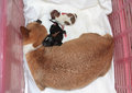 Chihuahua and just born puppies sleeping after caesarean section Stock Images