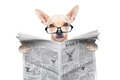 Chihuahua newspaper dog Royalty Free Stock Photo