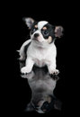 Chihuahua over black puppy of lies on background Royalty Free Stock Photo