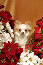 Chihuahua with Poinsettias Royalty Free Stock Photos
