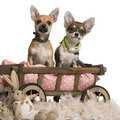 Chihuahua puppies, 3 months old, sitting Stock Images
