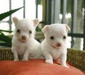 Chihuahua puppies Royalty Free Stock Photo