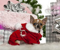 Chihuahua puppy, 3 months old, with Christmas Stock Image