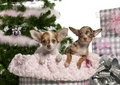 Chihuahua puppy, 4 months old, with Christmas Royalty Free Stock Photography