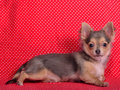 Chihuahua puppy against red polka-dot background Stock Image
