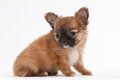Chihuahua puppy beauty at studio Stock Photo