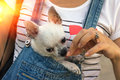 Chihuahua puppy in the bosom of the girlat sunrise girl at sunset Royalty Free Stock Photo