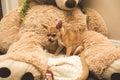 Chihuahua puppy on large stuffed bear Royalty Free Stock Photo