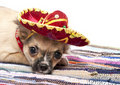 Chihuahua puppy with native Mexican hat Stock Photo