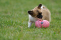 Chihuahua puppy plays with toy Stock Photos
