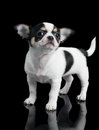 Chihuahua puppy poses on black background of Royalty Free Stock Image