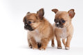 Chihuahua puppy two at studio Royalty Free Stock Photography