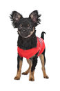 Chihuahua with red shirt Stock Photo