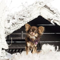 Chihuahua sitting in front of Christmas nativity Royalty Free Stock Images