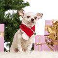 Chihuahua sitting and wearing a Christmas scarf Stock Photos
