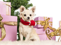 Chihuahua sitting and wearing a Christmas scarf Stock Photo