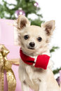 Chihuahua sitting and wearing a Christmas scarf Stock Images