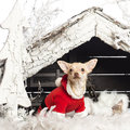 Chihuahua sitting and wearing a Christmas suit Stock Image