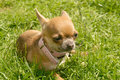 Chihuahua small puppy Royalty Free Stock Photos