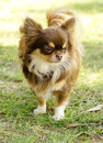 Chihuahua a small young beautiful chocolate and cream brown long coated standing on the lawn dogs are the smallest in Royalty Free Stock Photography