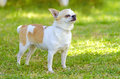 Chihuahua a small young beautiful white fawn cream short coated standing on the lawn dogs are the smallest in size Royalty Free Stock Images