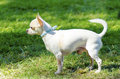 Chihuahua a small young beautiful white short coated standing on the lawn dogs are the smallest in size Stock Photos