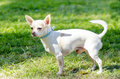 Chihuahua a small young beautiful white short coated standing on the lawn dogs are the smallest in size Stock Image