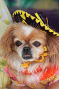 Chihuahua with a Sombrero Royalty Free Stock Photo