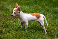 Chihuahua standing on grass small the green Stock Photos