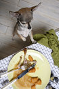 Chihuahua standing on hind legs to look at food Royalty Free Stock Photos