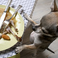 Chihuahua standing on hind legs to look at food Stock Image