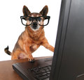A chihuahua surfing the internet on a laptop cute computer Stock Photos