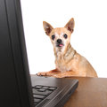 A chihuahua surfing the internet on a laptop cute with glasses with Royalty Free Stock Photos