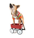 A chihuahua with a tiny wagon Stock Photos