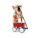 A chihuahua with a tiny wagon Royalty Free Stock Photos