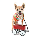 A chihuahua with a tiny wagon Royalty Free Stock Image