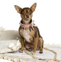 Chihuahua wearing a bow collar sitting on a carpet isolated white Royalty Free Stock Photo