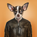 Chihuahua wearing a leather jacket orange background Royalty Free Stock Images